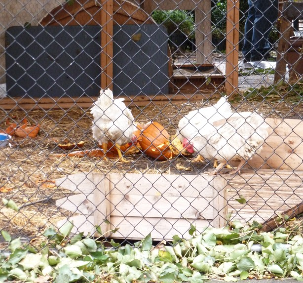 Chickens @ the Urban Garden Center after #sandy